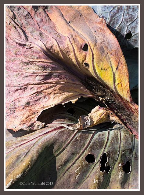 France, Normandy, St Aubert, red cabbage leaves