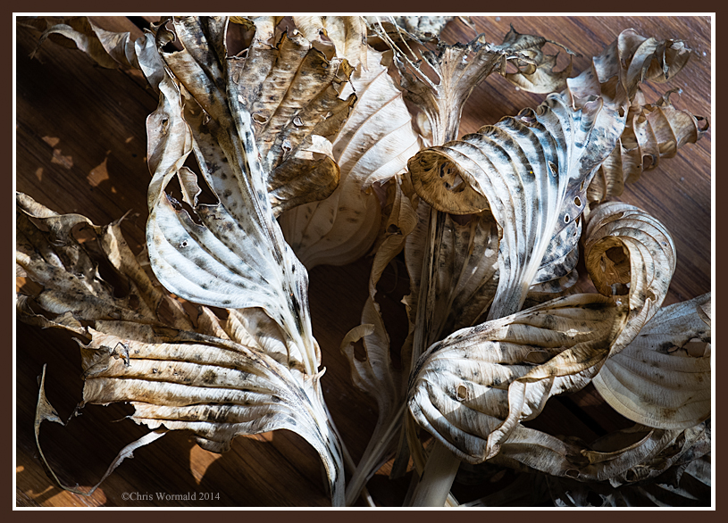 Summer ends - again. Dry hosta leaves in the autumn sun through the window.